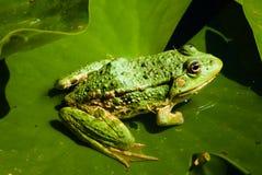 Grüner Frosch auf Lilie Lizenzfreie Stockfotografie