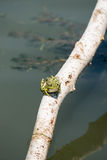 Grüner Frosch auf Zweig Lizenzfreies Stockfoto