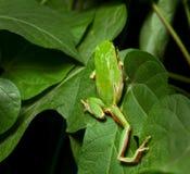 Grüner Frosch, der auf Baum steigt Lizenzfreies Stockfoto