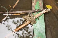 Grüner Frosch, der auf Niederlassungen im Wasser sitzt vektor abbildung