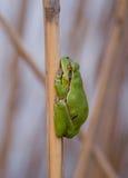Grüner Frosch, der auf Schilf schläft Stockbilder