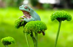 Grüner Frosch, der an der Blume hängt Stockfotografie