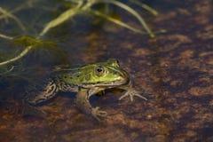 Grüner Frosch, der in einem Teich sitzt Lizenzfreie Stockbilder