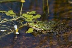 Grüner Frosch, der in einem Teich sitzt Stockfotos