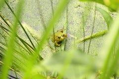 Grüner Frosch in einem Teich Lizenzfreie Stockfotografie