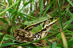Grüner Frosch im Gras stockfotos