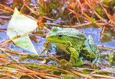 Grüner Frosch im Stauwasser Stockfotografie