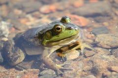 Grüner Frosch im Teich Lizenzfreie Stockfotografie