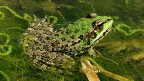 Grüner Frosch im Teich stock video footage