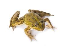 Grüner Frosch lokalisiert auf einem weißen Hintergrund Lizenzfreies Stockfoto