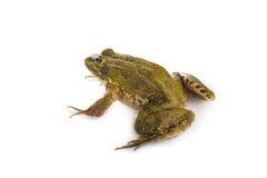 Grüner Frosch lokalisiert auf einem weißen Hintergrund Stockfotografie