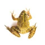Grüner Frosch lokalisiert auf einem weißen Hintergrund Lizenzfreies Stockbild