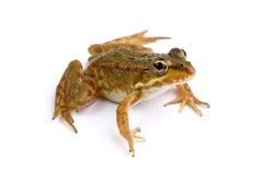 Grüner Frosch lokalisiert auf Weiß lizenzfreies stockbild