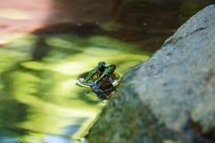 Grüner Frosch mit blauen Augen im grünen Wasser lizenzfreies stockfoto