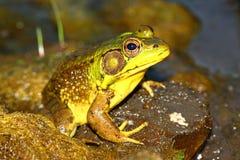 Grüner Frosch (Rana clamitans) Stockfoto