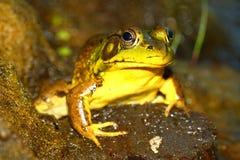 Grüner Frosch (Rana clamitans) Stockfotografie