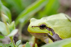 Grüner Frosch (Rana-ridibunda) essend im grünen Gras stockbild