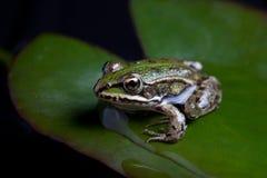 Grüner Frosch reflektiert Stockbild