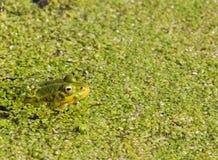 Grüner Frosch unter Entengrütze Stockfotos