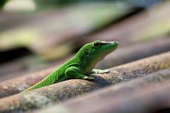 Grüner Gecko stockfoto