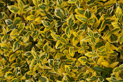 Grüner gelber belaubter Hintergrund - Euonymus Stockfotografie