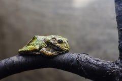 Grüner gelber Frosch auf einem Baumast Lizenzfreies Stockbild