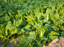 Grüner Gemüsegarten Stockbilder