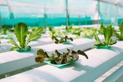 Grüner Gemüsehydroponikbauernhof Lizenzfreies Stockfoto