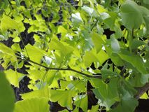 Grüner Ginkgo, Japan Stockfotografie