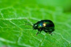 Grüner glänzender Käfer Stockfoto