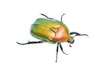 Grüner glänzender Käfer Stockfotografie