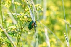 Grüner glänzender Käfer sitzt auf einem Grashalm auf einem Gebiet Lizenzfreies Stockbild