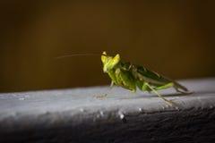 Grüner Gottesanbeterininsektenabschluß oben Stockfotografie
