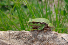 Grüner hölzerner Frosch Lizenzfreies Stockfoto