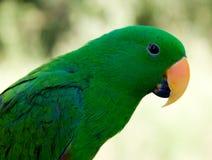 Grüner Haustier-Papagei mit orange Wekzeugspritze Lizenzfreie Stockbilder