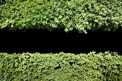 Grüner Heckenhintergrund mit zentralem schwarzem Kopienraum Stockbild