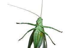 Grüner Heuschreckenabschluß oben Stockfoto