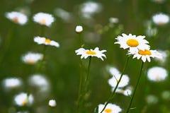 Grüner Hintergrund der Blütenkamille stockfotos