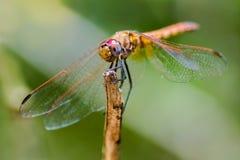 Grüner Hintergrund der Libelle Lizenzfreie Stockbilder