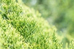 Grüner Hintergrund der Natur, Juniperus chinensis oder Drachekiefer Stockbild