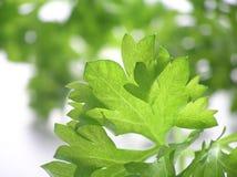 Grüner Hintergrund der Petersilie Stockfotos