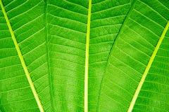 Grüner Hintergrund des Blattes drei stockfoto