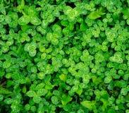 Grüner Hintergrund des frischen saftigen Grases in den Tropfen des Taus nach Regen, Reinheit der Natur stockfotografie
