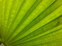 Grüner Hintergrund des Palmblattes Lizenzfreie Stockfotografie
