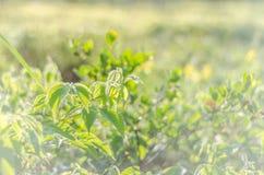 Grüner Hintergrund des Sommers Stockfoto
