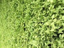 Grüner Hintergrund des vertikalen Gartens Stockfotos