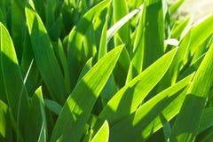 Grüner Hintergrund gemacht durch Irisblumenblätter Stockfotografie