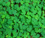 Grüner Hintergrund mit drei-leaved Shamrocks Stockbild