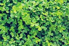 Grüner Hintergrund mit drei-leaved Shamrocks Stockfoto