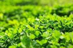 Grüner Hintergrund mit drei-leaved Shamrocks Lizenzfreie Stockfotos